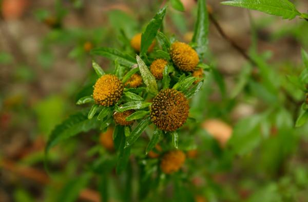 Detail květenství druhu Bidens radiata
