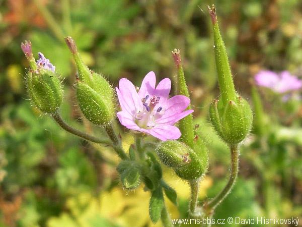 geranium-aequale-5