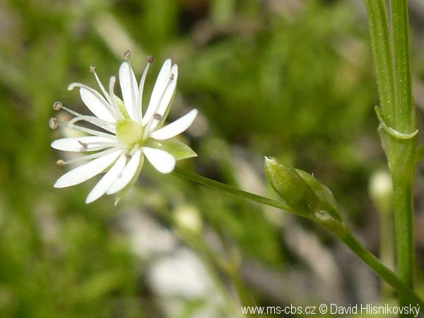stellaria-longifolia-3