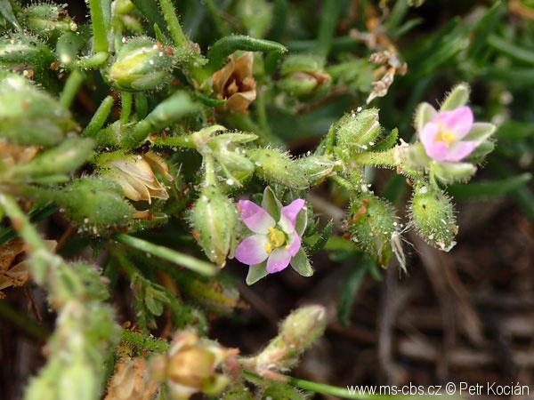 spergularia-marina-2
