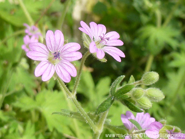 geranium-molle-2